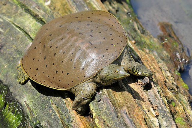 Soft Shell Turtles
